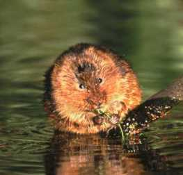 Water Vole by Andrew Parkinson