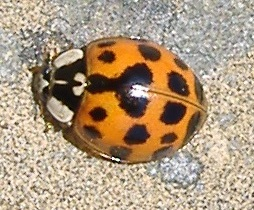 Harlequin ladybird taken in Chesham during 2007