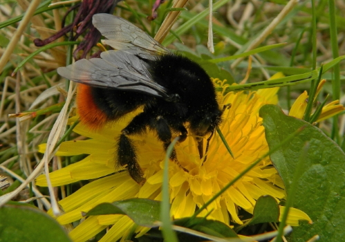 A red tailed bumblebee